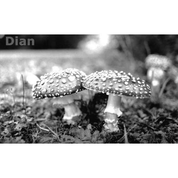 Dian McCreary Fine Art Photography - Feary Realm Amanita