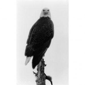 Dian McCreary Fine Art Photography - Portrait of an Eagle